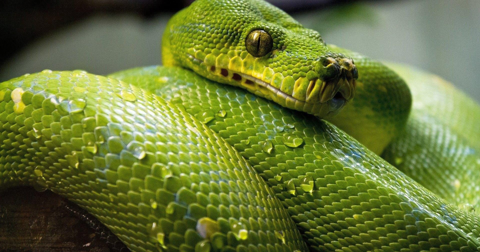 Чем змеи отличаются от безногих ящериц