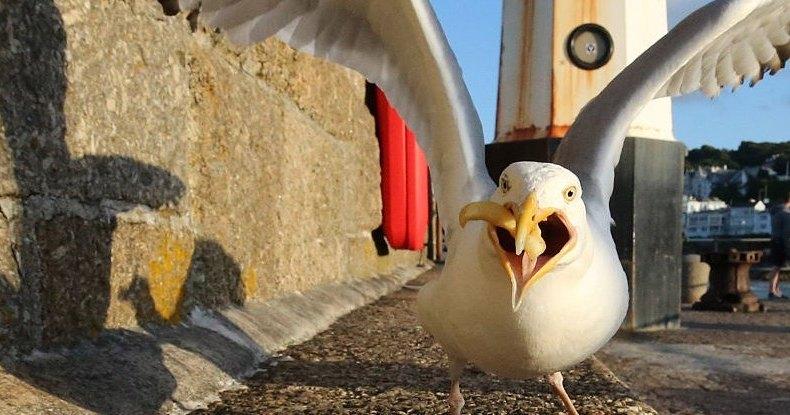 Почему чайки так падки на объедки: новое исследование