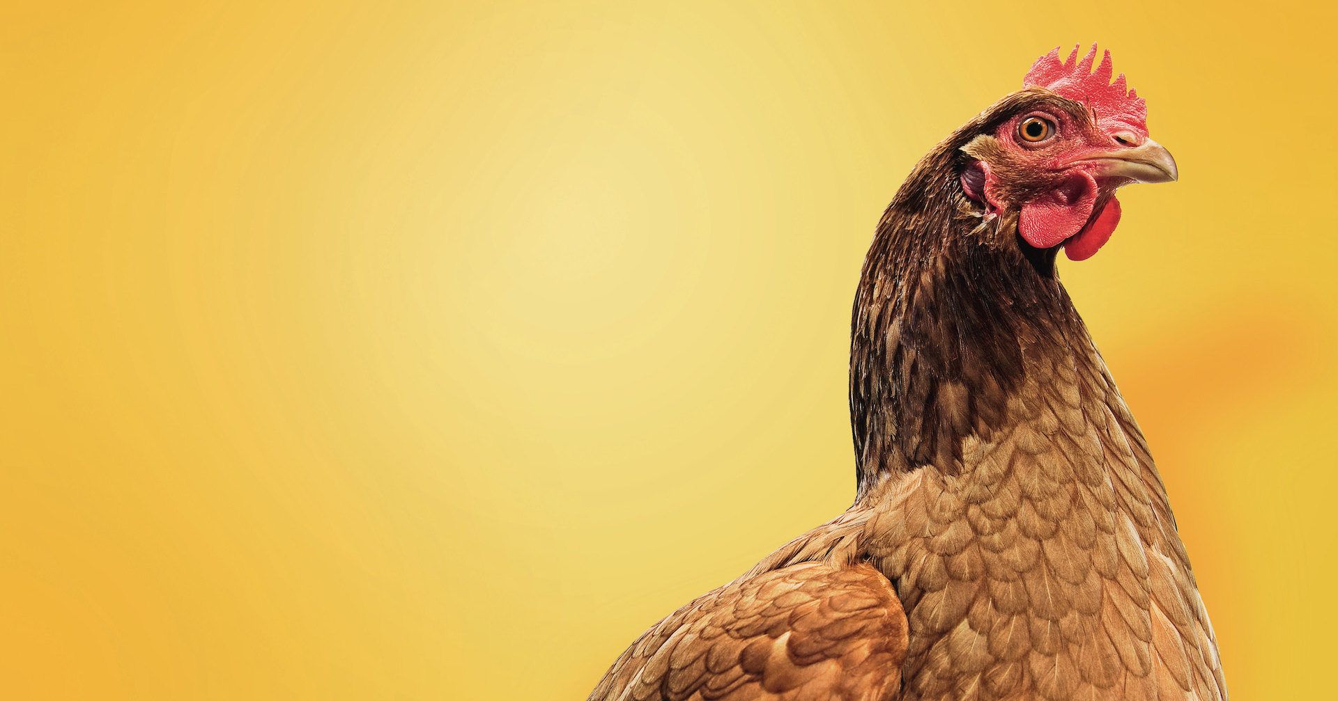 Царь-птица: курицы, о которых мы почти не знали