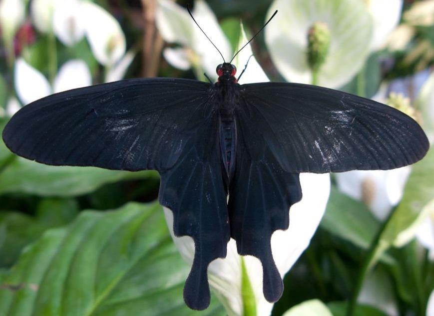 Крылья, поглощающие свет: секрет сверхчерных бабочек - 2