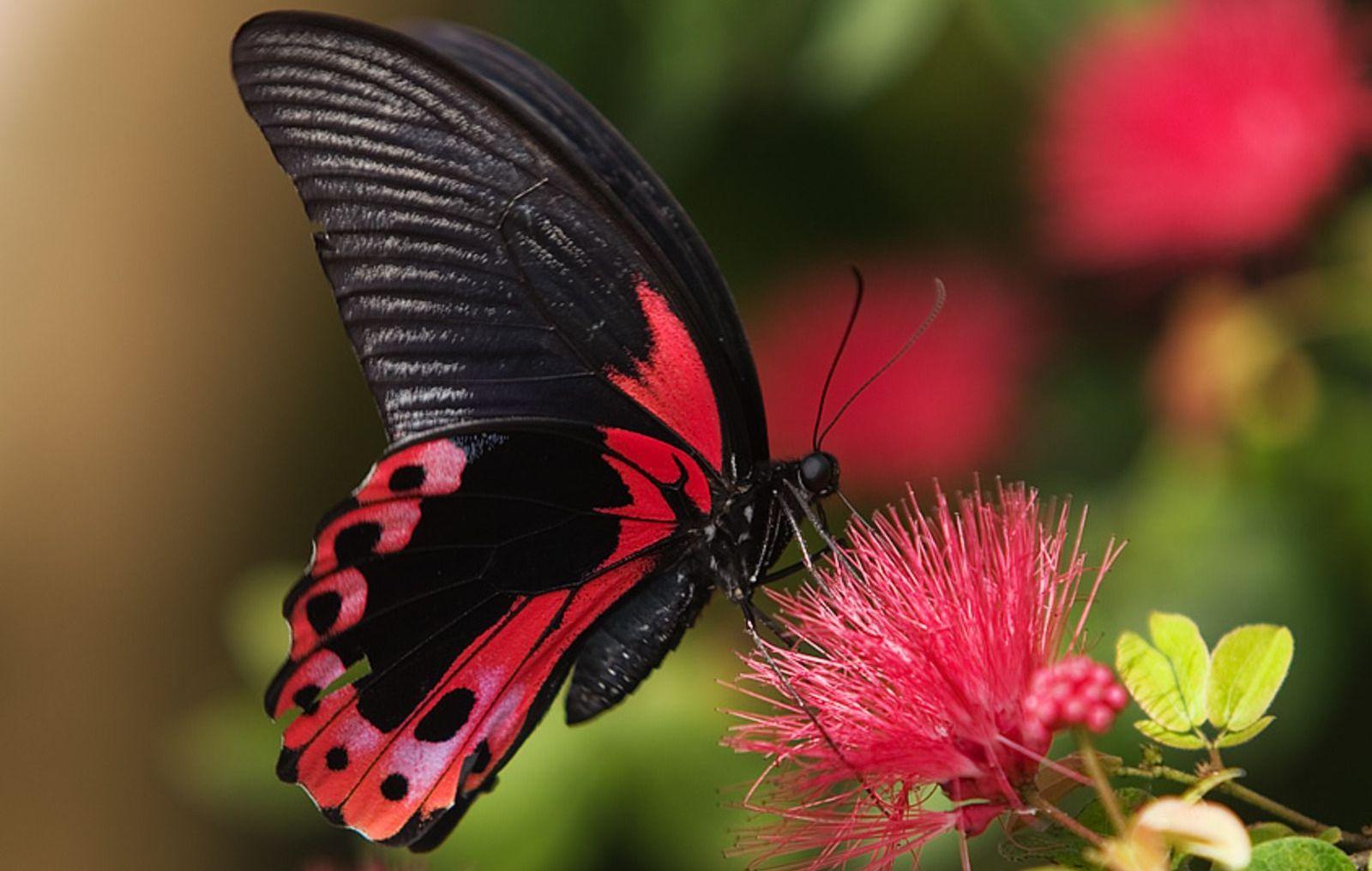 Крылья, поглощающие свет: секрет сверхчерных бабочек - 1