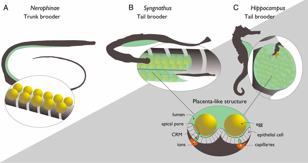 Трудности отцовства морских коньков: генетические метаморфозы иммунной системы - 2