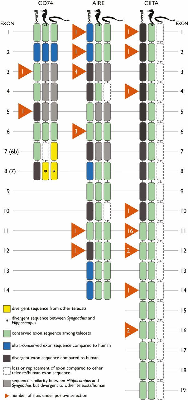 Трудности отцовства морских коньков: генетические метаморфозы иммунной системы - 4