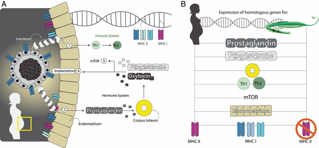 Трудности отцовства морских коньков: генетические метаморфозы иммунной системы - 5