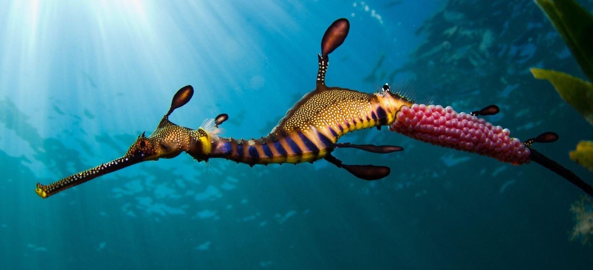 Трудности отцовства морских коньков: генетические метаморфозы иммунной системы - 1