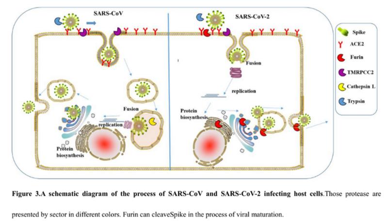 SARS нерукотворный? Генеалогия уханьского коронавируса - 16