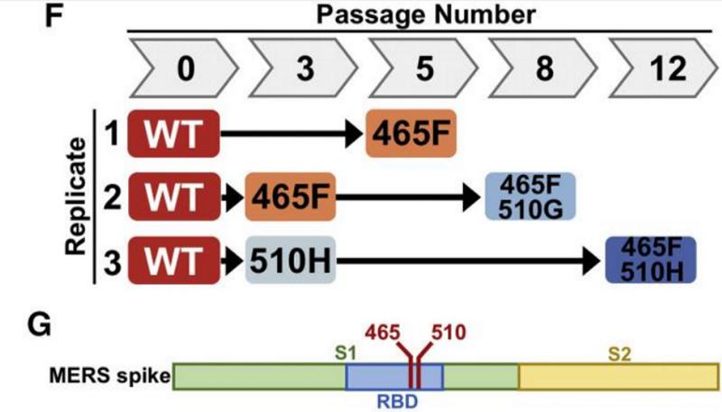 SARS нерукотворный? Генеалогия уханьского коронавируса - 33