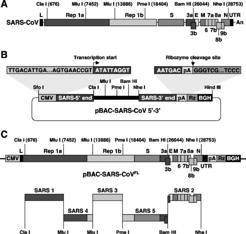 SARS нерукотворный? Генеалогия уханьского коронавируса - 36
