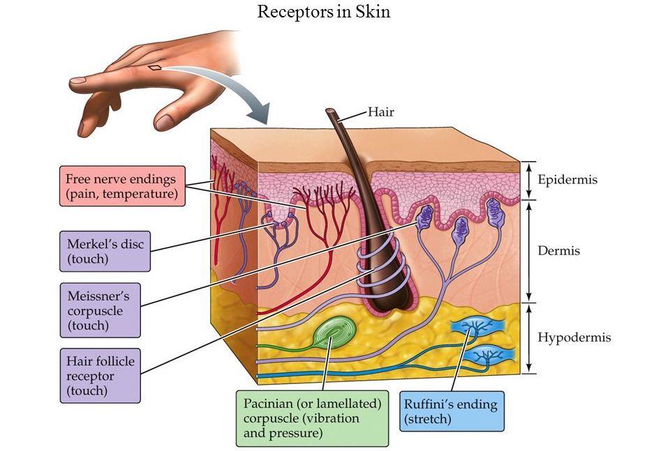 Прикоснуться к миру: биомеханика рецепторов кожи человека - 2