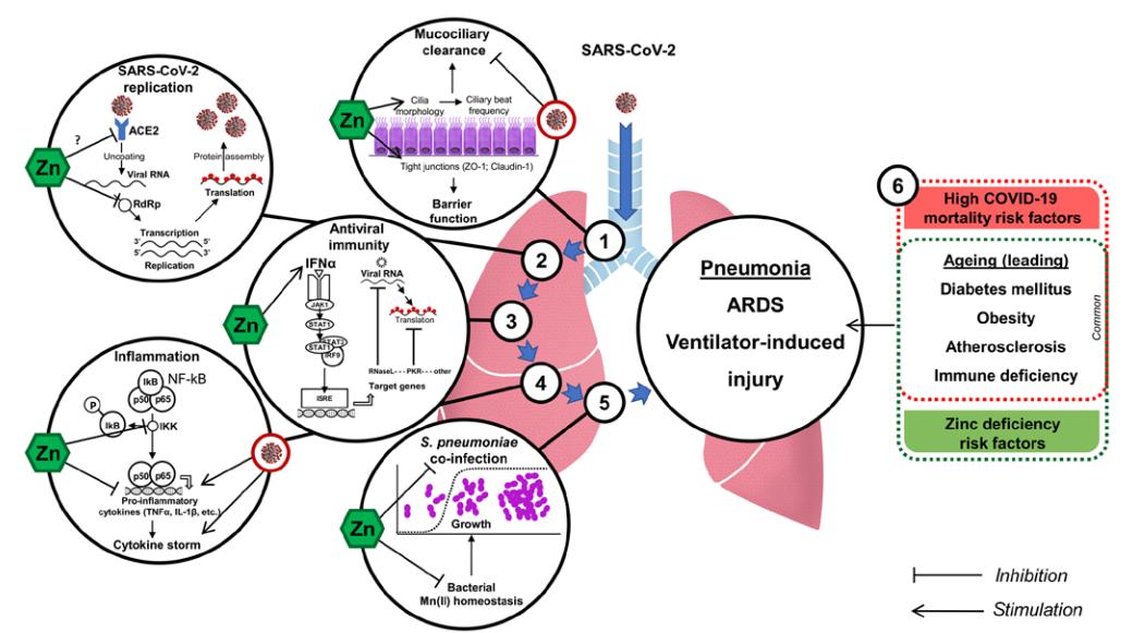 Как укрепить иммунитет и защититься от ОРВИ и, вероятно, COVID-19. Факты доказанные наукой - 5