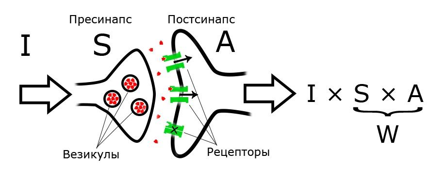 Сравнение мозга с нейронной сетью - 13