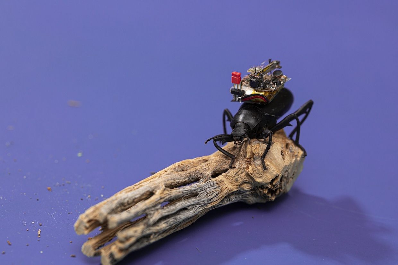 Будущее шпионажа. Беспроводная видеокамера на спине жука транслирует видео на 120 метров - 1