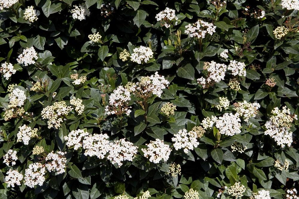 Оптика в ботанике: структурный цвет ягод калины тинус - 2
