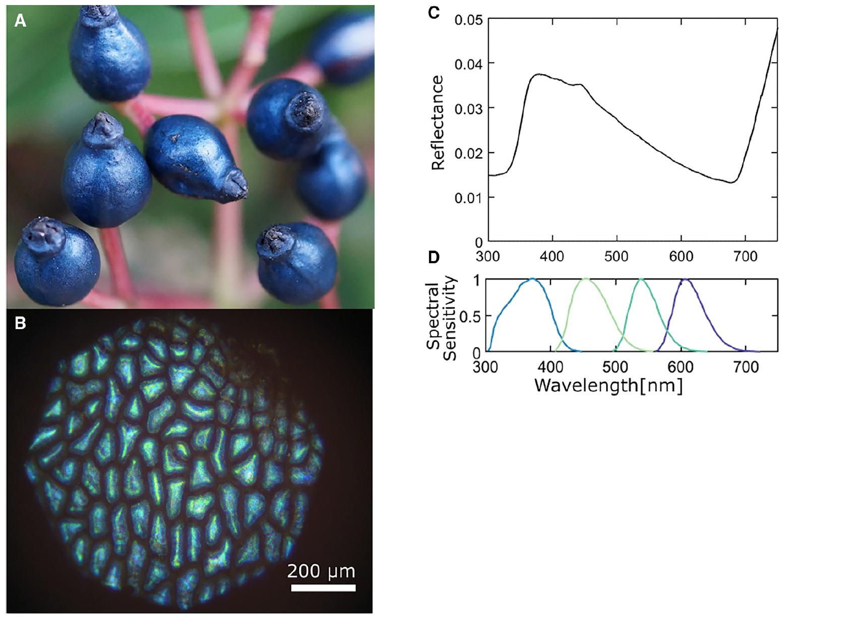 Оптика в ботанике: структурный цвет ягод калины тинус - 5