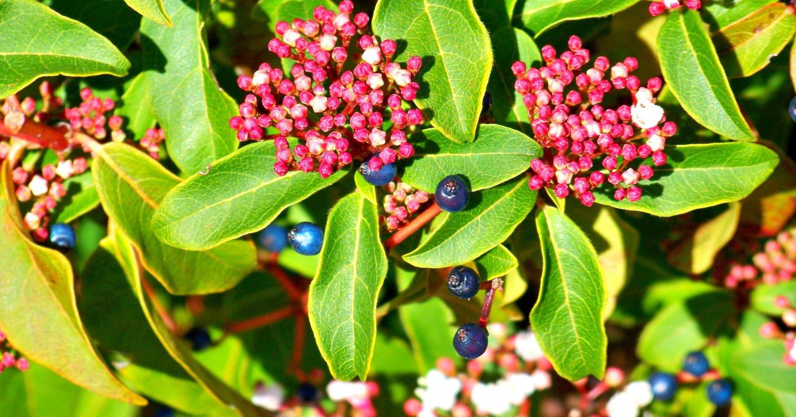 Оптика в ботанике: структурный цвет ягод калины тинус - 1