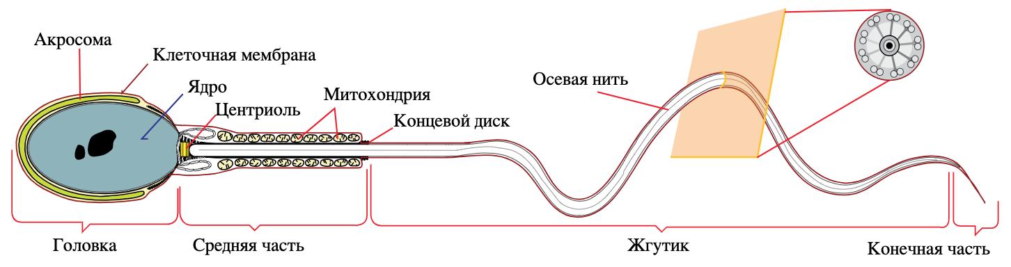 Движение это жизнь: кинематика сперматозоидов - 3