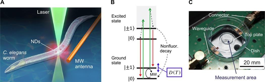 Квантовый нанотермометр: измерение температуры нематоды длиной 1 мм - 3