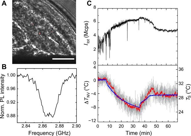 Квантовый нанотермометр: измерение температуры нематоды длиной 1 мм - 5