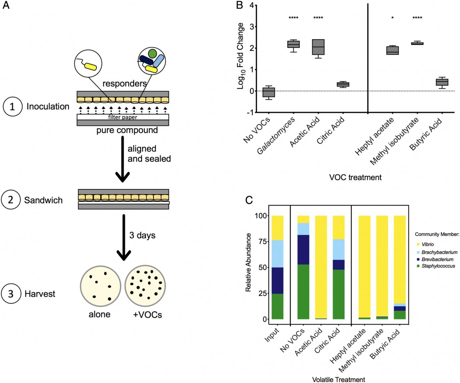 Запах сыра: ароматическое взаимодействие бактерий и грибков - 5