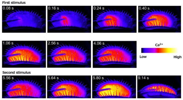 Смертельно эффективная ловушка: как венерина мухоловка запоминает, что она поймала добычу - 3
