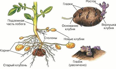 Жизнь замечательной картошки и современные технологии - 2