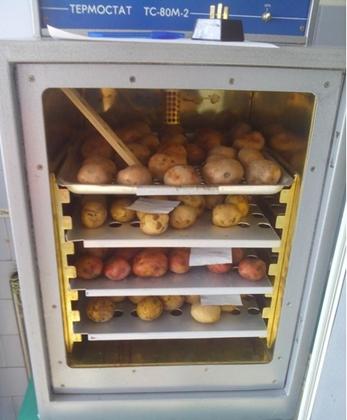 Жизнь замечательной картошки и современные технологии - 7