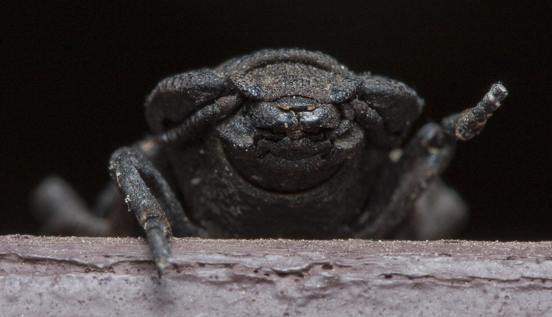 Спасительный пазл: механика экзоскелета дьявольского жука - 1