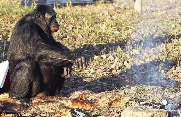 Трибьют Канзи, обезьяньему патриарху, который всех озадачил - 2