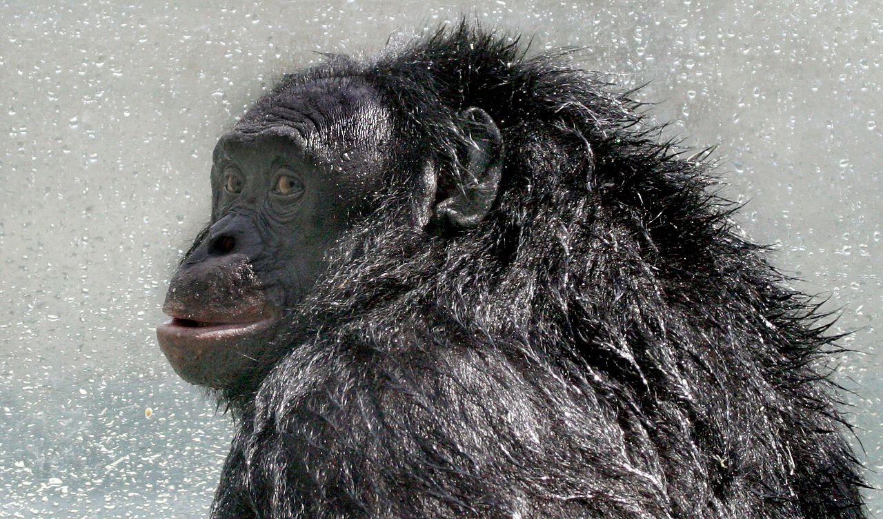 Трибьют Канзи, обезьяньему патриарху, который всех озадачил - 1