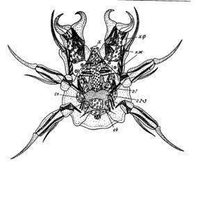 Клещи или статья о том, как стать самым успешным маленьким паукообразным - 9