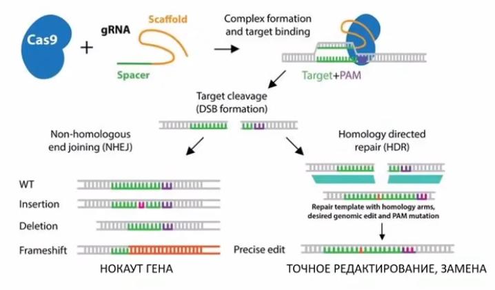 Левая ветвь — не гомологичный вариант замены, приводящий к разрушению гена, правая — успешная починка подходящим фрагментом