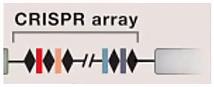 CRISPR для чайников, или Краткая справка по быстрому редактированию ДНК - 4