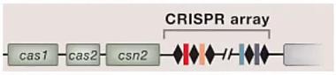 CRISPR для чайников, или Краткая справка по быстрому редактированию ДНК - 5