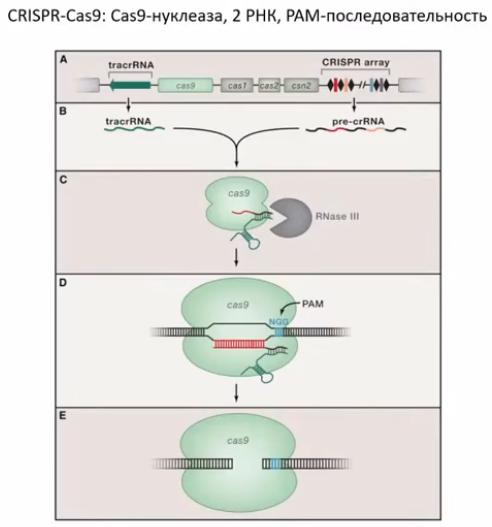CRISPR для чайников, или Краткая справка по быстрому редактированию ДНК - 8
