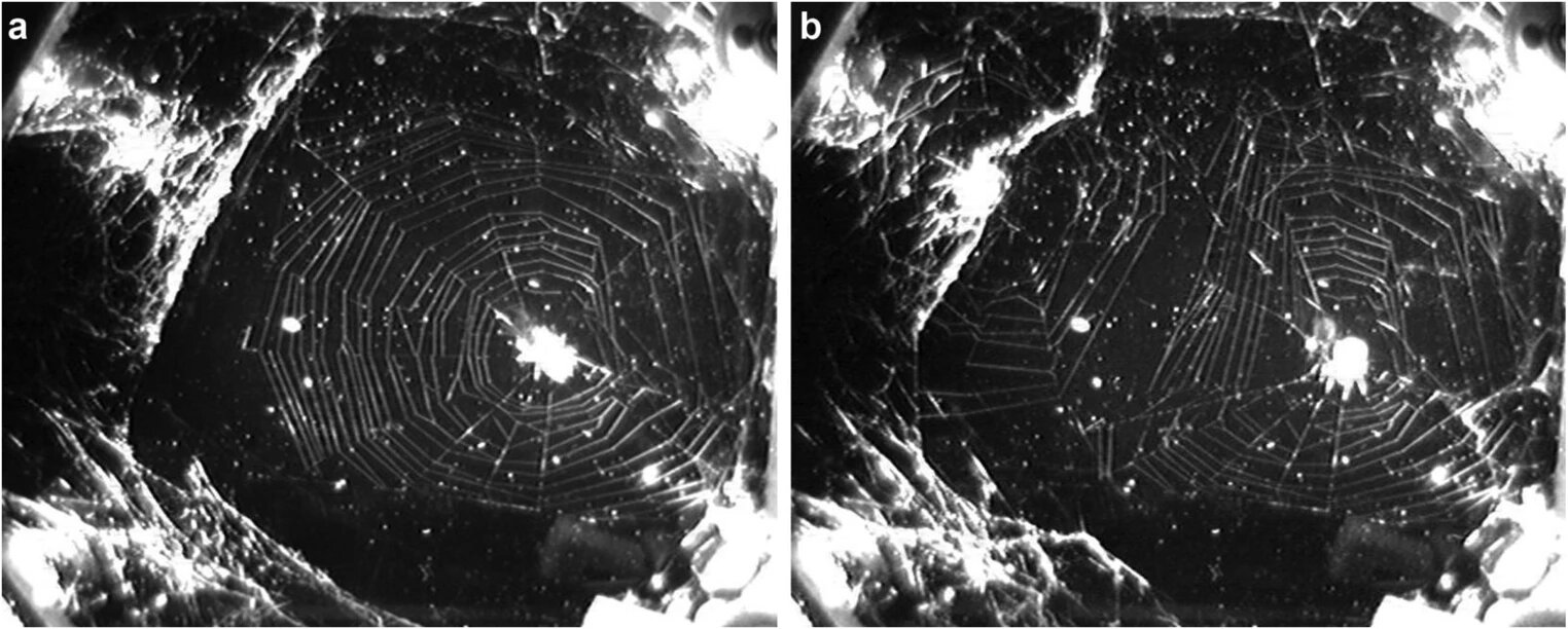 Пауки на МКС: как гравитация влияет на строительство паутины - 5