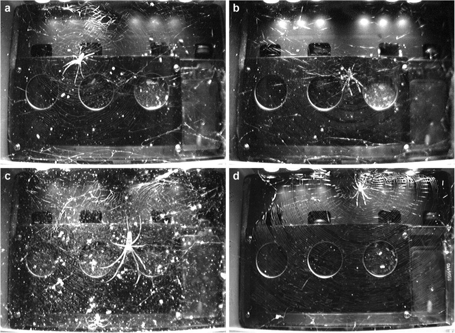 Пауки на МКС: как гравитация влияет на строительство паутины - 7