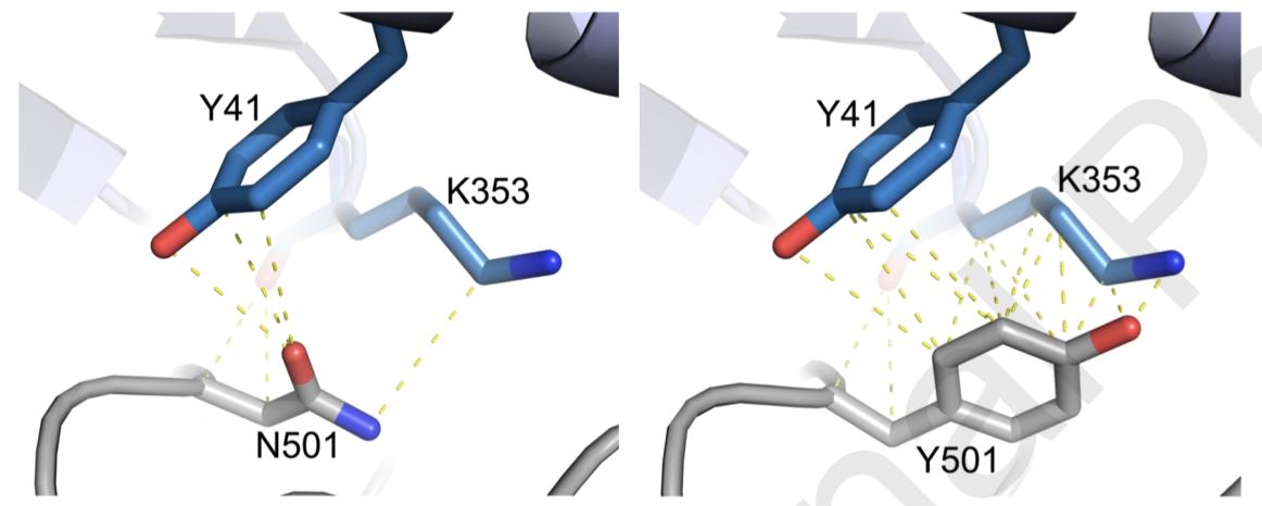 Мутация N501Y, замена остатка аспарагина на тирозин