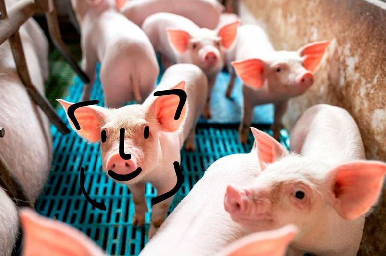 Huawei не разводит свиней, но помогает другим делать это