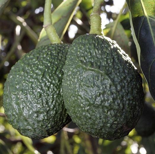 Почему у авокадо большая косточка - 7