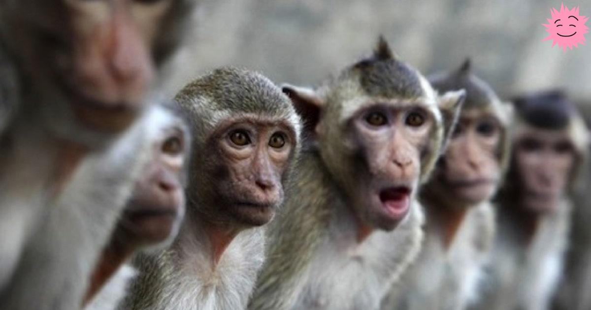 Как 17 обезьян спасли тысячи людей - 1