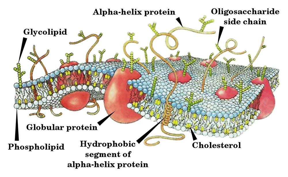Википедия. Клеточная мембрана.
