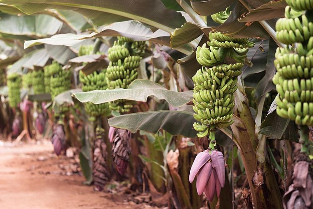 Почему мир скоро может остаться без бананов - 1