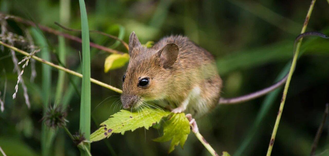 Мир глазами грызуна: камера, имитирующая зрение мыши - 1