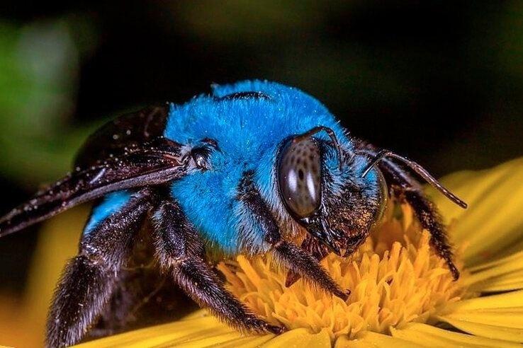 Это не фотошоп. Это Xylocopa caerulea — голубая пчела-плотник, обитающая на юге России. А есть еще бриллиантовая, и изумрудная пчела-плотник, правда, уже в Австралии)