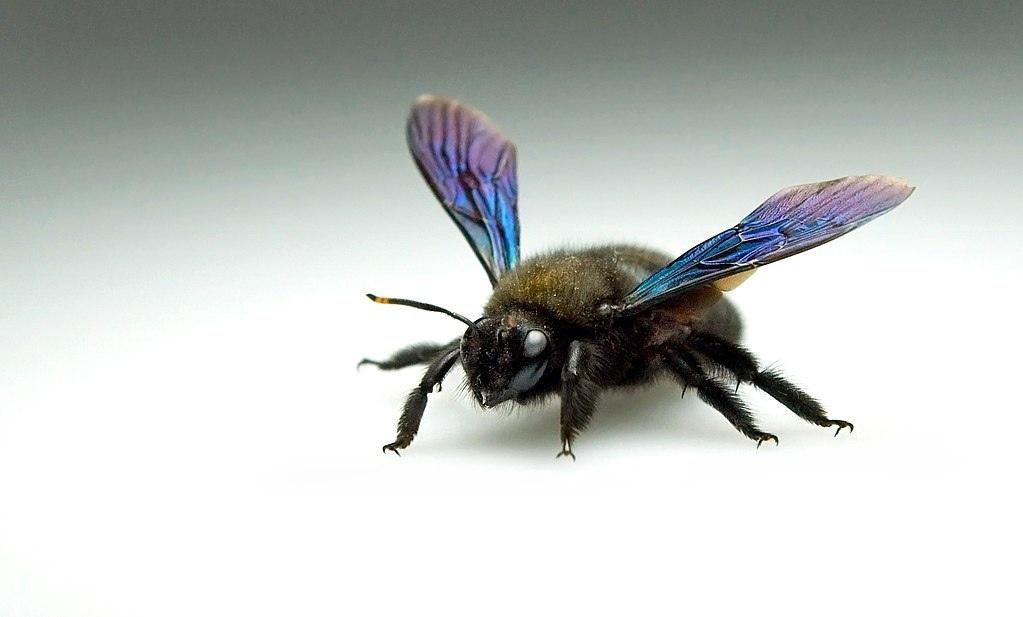 В германии ее называют Große Blaue Holzbiene, или Blauschwarze, а также Violettflügelige Holzbiene. Большая голубая деревянная пчела, также голубая черная или фиолетовая пчела соответственно. Фото: Thomas Steg