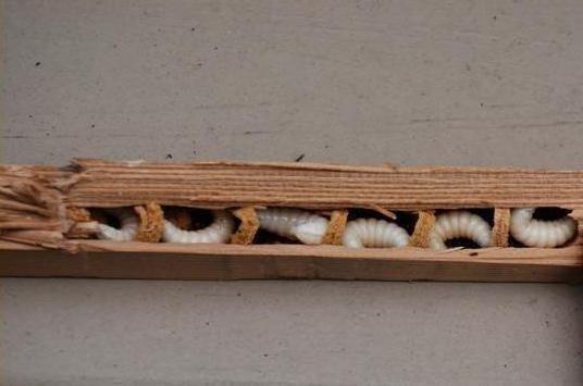 Когда в раме моего окна завелась ксилокопа, я даже поначалу подумала, что к нам пробрались мыши))