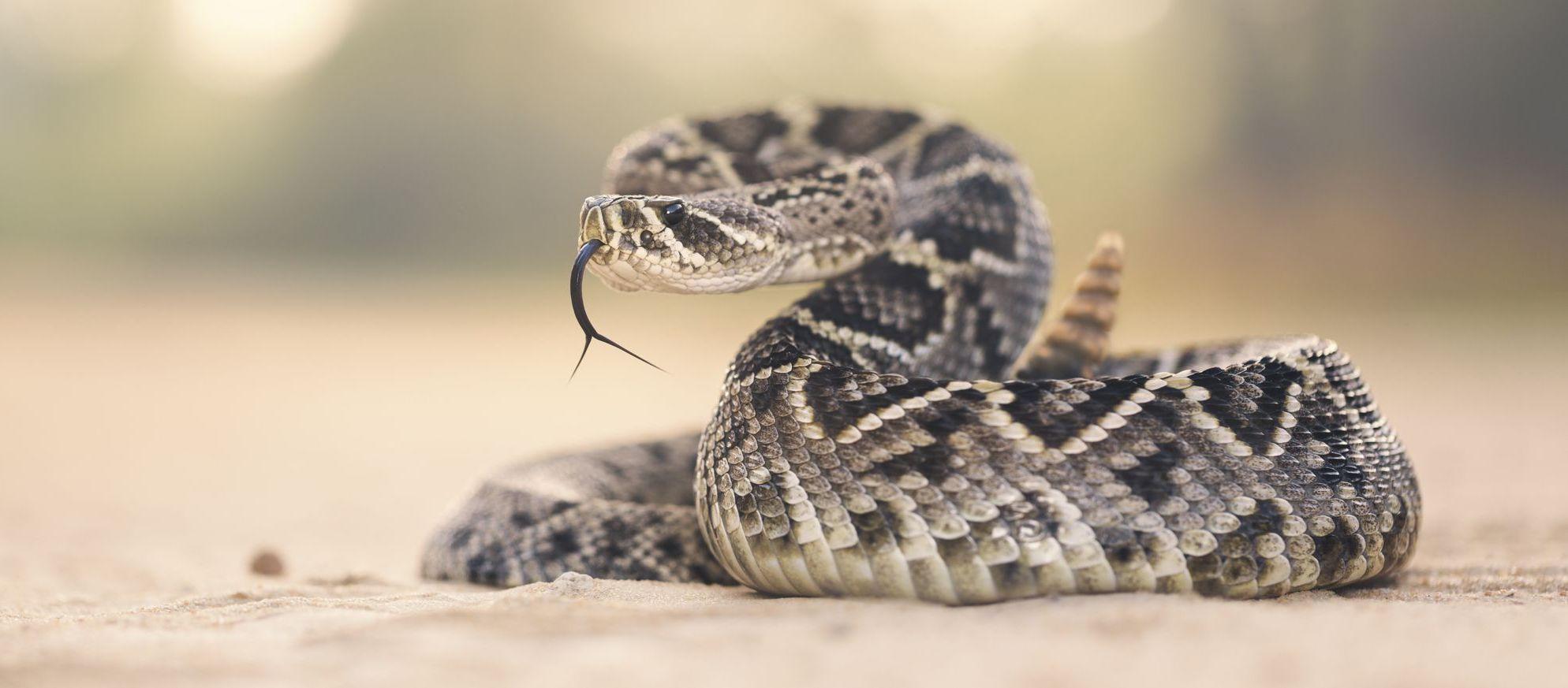 Маракасы чешуйчатых интровертов: акустическая иллюзия гремучих змей - 1