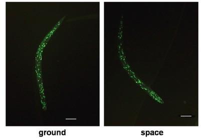 Пребывание в космосе продлевает жизнь червей