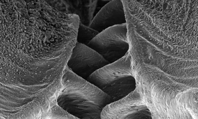 Впервые зубчатую передачу обнаружили у живого существа