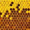 В Европе число колоний медоносных пчёл упало на 12%